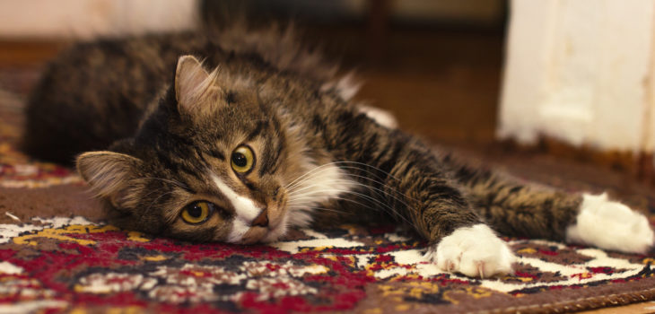 how to get cat litter out of carpet