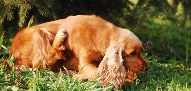 how to get rid of fleas on a pregnant dog