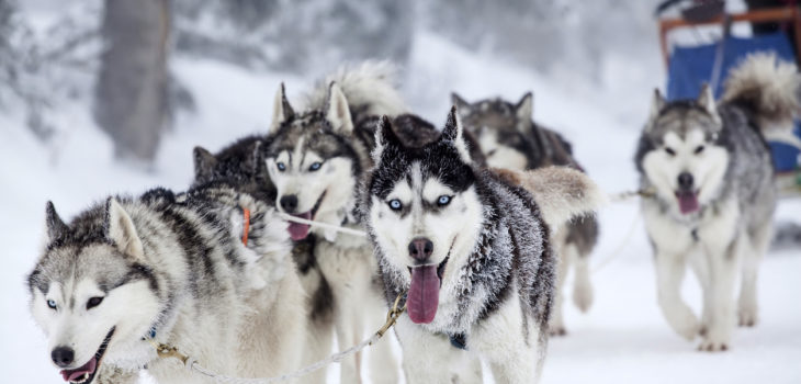 Snow Sled Dog Bites And Liability