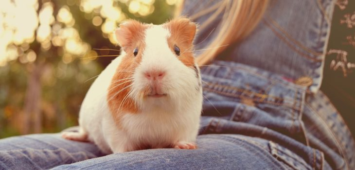 Backpack to Travel With Guinea pig