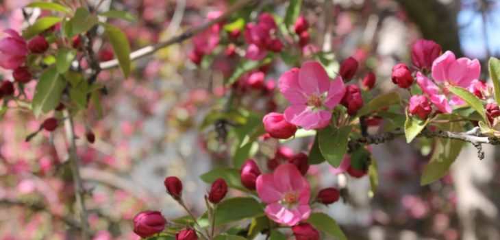 Are crab apple trees poisonous to horses
