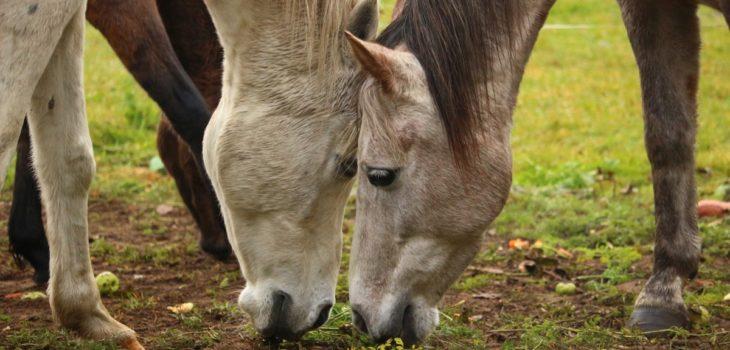 Can horses get fleas