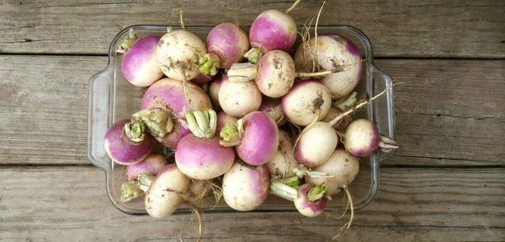 Can horses eat turnips