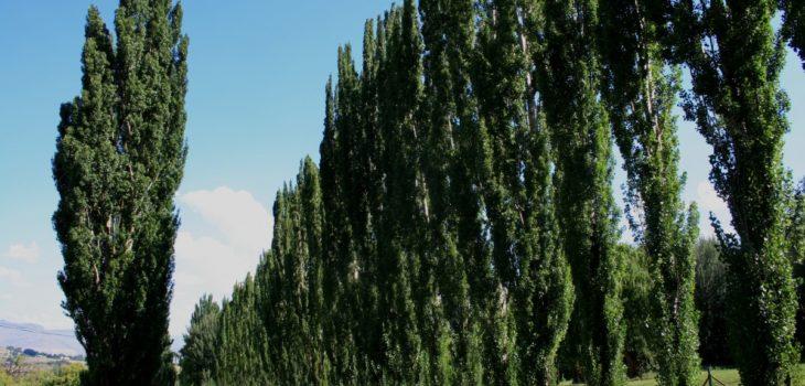 Is poplar tree poisonous to horses