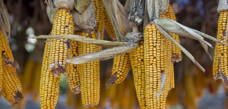 Can horses eat corn husks